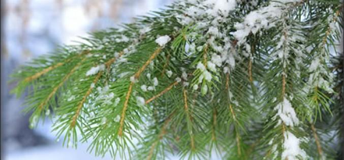 Christmas Tree Shopping Tips, Fresh Style
