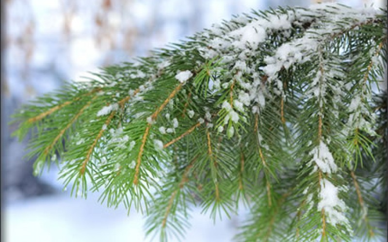 Christmas Tree Shopping Tips, Fresh Style